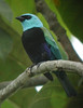 "Blue-necked Tanager <div id=""caption_tourlink"" align=""right""> [photo © guide Jan Pierson]</div>"