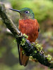 "Chestnut-breasted Coronet <div id=""caption_tourlink"" align=""right""> [photo © participant Marbry Hopkins]</div>"