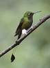 """Booted Rackettail <div id=""""caption_tourlink"""" align=""""right""""> [photo © guide Jan Pierson]</div>"""