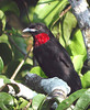 "Purple-throated Fruitcrow, Sacha <div id=""caption_tourlink"" align=""right""> [photo © guide Jan Pierson]</div>"