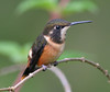 "Purple-throated Woodstar female, Tandayapa valley <div id=""caption_tourlink"" align=""right""> [photo © participant Marbry Hopkins]</div>"