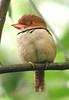 "Collared Puffbird <div id=""caption_tourlink"" align=""right""> [photo © guide Jan Pierson]</div>"
