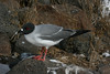 The gorgeous Swallow-tailed Gull is regular throughout the archipelago. That bright spot at the base of this nocturnal hunter's bill is thought to be an adaptation which allows this gull's chicks to aim at the right spot when trying to find the beak (and thus the food) in the dark. (Photo by guide Megan Crewe)