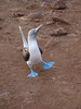 There are few things more endearing than a dancing Blue-footed Booby -- particularly when he's standing in the middle of the path, apparently displaying to you! (Photo by guide Megan Crewe)