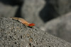A female Galapagos Lava Lizard basks in the late afternoon sunshine on North Seymour. This is the most widespread of the lava lizards. (Photo by guide Megan Crewe)