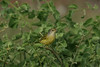 This, believe it or not, is a female Yellow Warbler. They sure look (and sound) different than mainland birds! They swarm over the vegetation in the lowlands by the hundreds and thousands, often surprisingly tame. (Photo by guide Megan Crewe)