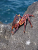 A young Sally Lightfoot Crab, so-named for its habit of scuttling across the top of the water. (Photo by guide Megan Crewe)