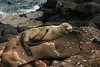 "A baby Galapagos Sea Lion snoozes blissfully right beside the path on North Seymour, our first ""feet on the ground"" stop of this year's tour. Note the sharp toenails visible on those middle back toes; as we saw, they're perfect for scratching itchy ears with! (Photo by guide Megan Crewe)"