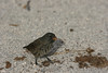 """Our first up-close-and-personal """"Darwin's finch"""" was this Small Ground-Finch, which was nibbling seeds along the edge of the beach on North Seymour. Recent DNA studies have shown that these """"finches"""" are actually tanagers. (Photo by guide Megan Crewe)"""