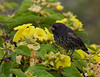 A Sharp-beaked Ground-Finch amid some yellow Muyuyu (Chordia lutea) blossoms on Genovesa (Tower) Island.  (Photo by guide George Armistead)