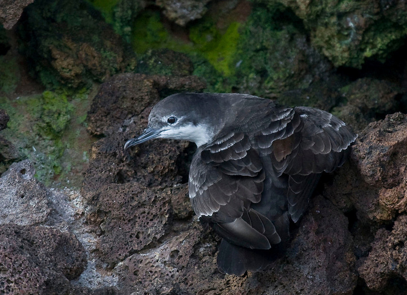 Fresh Galapagos Shearwaters often show frosty tips to their scapular feathers and their secondary coverts.  (Photo by guide George Armistead)