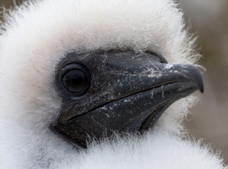 Someone suggested that this nestling Red-footed Booby actually looks like a polar bear wearing a masquerade mask! Perhaps, but this little guy was actually on a nest at Genovesa in the Galapagos. Despite being the most abundant breeding sulid in the Galapagos, this species disperses widely out to sea and is actually the least conspicuous booby in the archipelago.  (Photo by guide George Armistead)