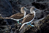 Surely the most emblematic species of the Galapagos is the Blue-footed Booby. Here the female on the right is larger with bluer feet and a larger dark pupil. Bright foot color among boobies is theorized to have evolved in response to selection pressure for species recognition, as often several species overlap at a colony. Also the ritualized courtship and pair-bonding displays in sulids (in which Blue-foots wave their ornamental feet) appear to have evolved from the need for a strong pair bond to successfully rear young.  (Photo by guide George Armistead)