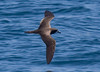 The Galapagos Petrel flies in elegant and speedy arcs. Doug suggested that, like others in the genus Pterodroma, it is like the Lamborghini of birds. It too is critically endangered.  (Photo by guide George Armistead)