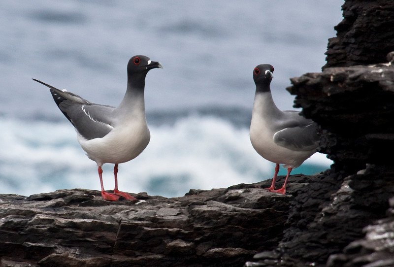 Swallow-tailed Gulls sometimes adopt a rather goose-like posture. (Photo by guide George Armistead)