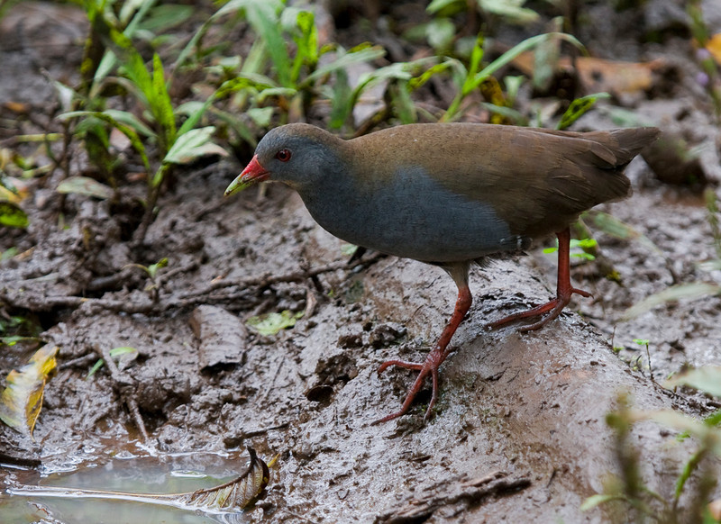 The Paint-billed Crake can be a hard bird to see, and the Galapagos may be the best place to see it. (Photo by guide George Armistead)
