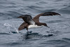 A Galapagos Shearwater takes flight. (Photo by guide George Armistead)