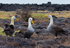 Waved Albatrosses dance and call. (Photo by guide George Armistead)