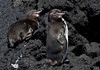 Galapagos Penguins rest on the lava rock shore of the Bolivar Channel. (Photo by guide George Armistead)