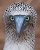Blue-footed Boobies with their binocular vision have quite a companionable expression. (Photo by guide George Armistead)