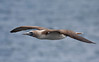 Blue-footed Booby glides past us at North Seymour on our first afternoon at Galapagos. (Photo by guide George Armistead)
