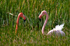 American Flamingos face off. (Photo by guide George Armistead)