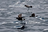 Wedge-rumped Storm-Petrel (front) with two Elliott's. (Photo by guide George Armistead)