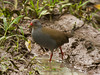 And in fact, these highland areas are important as we look for two small species of rail, Paint-billed Crake (shown here) and the endemic Galapagos Rail, both regular sightings on our tours. (Photo by participant Kevin Heffernan)