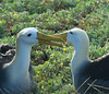 A highlight of our visit to Española Island is the breeding colony of the Waved (or Galapagos) Albatrosses. These gorgeous seabirds breed only here and on Isla de la Plata, near the Ecuadorian coast. The Waved Albatrosses perform an elaborate dance bowing to each other, clapping their bills, and pointing to the sky. (Photo by participant Johnny Powell)