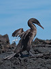There two flightless birds on the Galapagos. One is this Flightless Cormorant (no one's flying anywhere with wings like that!); the other is the Galapagos Penguin. Both species live in the nutrient-rich and highly productive west side of the archipelago, largely on the coast of Fernandina and Isabela islands. The two species are fish-eaters and can be seen side by side on the rocks.(Photo by participant Kevin Heffernan)