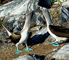 The Blue-footed Booby is one of the birds which people closely associate with the Galapagos. It is found throughout the archipelago, and it is common. Not only that, it is very tame (but then what isn't on these islands!), and we often see the boobies' peculiar mating dance where they raise and lower their electric-blue feet. A little trivia here: the males and females can be differentiated by the size of their pupils! (Photo by participant Johnny Powell)