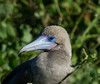 Most of the Red-footed Boobies on the Galapagos are of the brown morph--but they still come with that oddly beautiful blue-and-pink facial skin. (Photo by participant Johnny Powell)