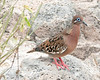 A species typical of dry habitats, such as those of Santa Fe, is the Galapagos Dove. A distant relative of the White-winged and Mourning doves, the Galapagos Dove is one of the most ornate of the genus <em>Zenaida</em>. (Photo by participant Connie Nelson)