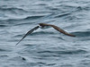The fact that this trip is conducted from a boat has many advantages, one being that every day offers the chance of seeing seabirds. When traveling from island to island, we often steam past concentrations of birds and sometimes marine mammals. Here a Galapagos Petrel approaches our vessel. White-vented, Band-rumped and Wedge-rumped storm-petrels often whiz by as we travel, and some follow the boat. We visit a superb colony of Wedge-rumped Storm-Petrels on Tower Island, where the birds are active during the day! Additionally, apart from boobies, frigatebirds, and tropicbirds we encounter good numbers of the Galapagos Shearwater, recently split from Audubon's Shearwater. (Photo by participant Kevin Heffernan)