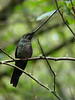 "The amazing Sword-billed Hummingbird at Guango Lodge, a stop en route to San Isidro<div id=""caption_tourlink"" align=""right""><a id=""caption_tourlink"" href=""http://www.fieldguides.com/tours.html?area=tour&code=hec"" target=""_blank"">More about this tour...</a><br>[photo © Mitch Lysinger]</div>"