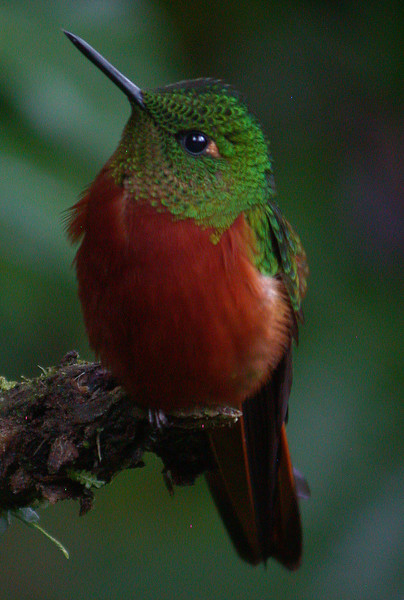 Chestnut-breasted Coronet is one of the regular hummingbirds at the lodge feeders. Photo by guide Mitch Lysinger.