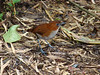 White-bellied Antpitta has become a regular sight at the lodge. Photo by guide Mitch Lysinger.