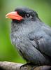 """Black-fronted Nunbird <div id=""""caption_tourlink"""" align=""""right""""> [photo © guide Dave Stejskal]</div>"""