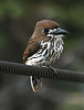 """Lanceolated Monklet <div id=""""caption_tourlink"""" align=""""right""""> [photo © participant Johnny Powell]</div>"""