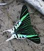 "Urania moth <div id=""caption_tourlink"" align=""right""> [photo © guide Bret Whitney]</div>"