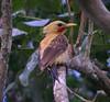 "Cream-colored Woodpecker <div id=""caption_tourlink"" align=""right""> [photo © guide Bret Whitney]</div>"