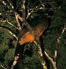"""The extremely elusive Nocturnal Curassow captured in a photo! <div id=""""caption_tourlink"""" align=""""right""""> [photo © guide Bret Whitney]</div>"""