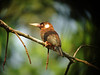"White-eared Jacamar (Photo by participant Nancy Boggess) <div id=""caption_tourlink"" align=""right""> [photo © participant Nancy Boggess]</div>"