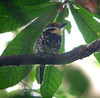 """Spotted Puffbird <div id=""""caption_tourlink"""" align=""""right""""> [photo © guide Bret Whitney]</div>"""