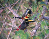 "Many-banded Aracari <div id=""caption_tourlink"" align=""right""> [photo © guide Bret Whitney]</div>"