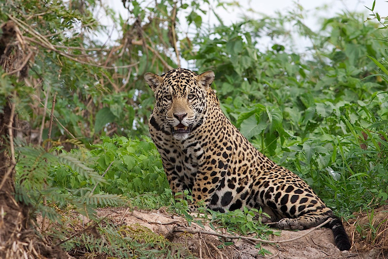 This spectacular cat is definitely worth building a tour around. We carefully plan our trip to coincide with the onset of the dry season which enhances our chance at spotting a Jaguar along the riverbank. (Photo by guide Marcelo Padua)
