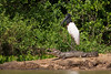 This Jabiru is either supremely confident in its reflexes or seriously lacks some self-awareness. (Photo by guide Marcelo Padua)
