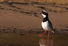 This Pied Lapwing was extremely obliging as it foraged along the shoreline. (Photo by guide Marcelo Padua)