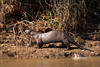 Giant Otters are rarely alone. How many do you see in the photo? (Photo by guide Marcelo Padua)