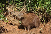 ...Capybara, the world's largest rodent. (Photo by guide Marcelo Padua)